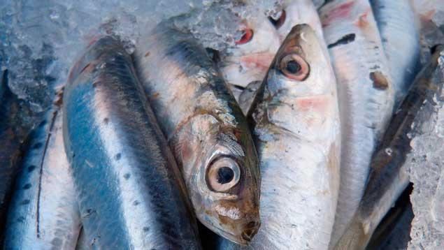 Vedada la pesca de sardina hasta marzo